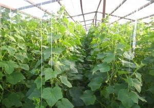 Семена огурцов для закрытого грунта