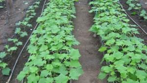 Семена огурцов для открытого грунта