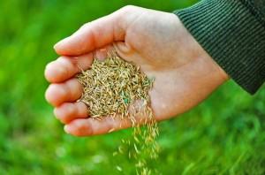 Как купить семена газонной травы и не разочароваться