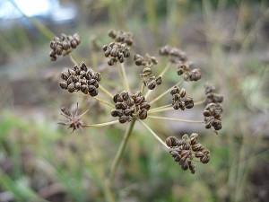 Как купить семена петрушки и не разочароваться