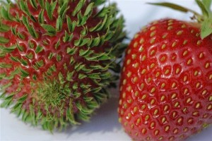 Как купить семена клубники и не разочароваться