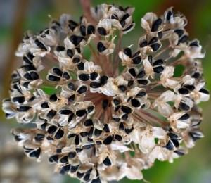 Как купить семена лука и не разочароваться