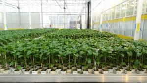 Как вырастить рассаду перца: основные правила