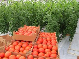 Томатов богатый урожай — с рассады начинай!
