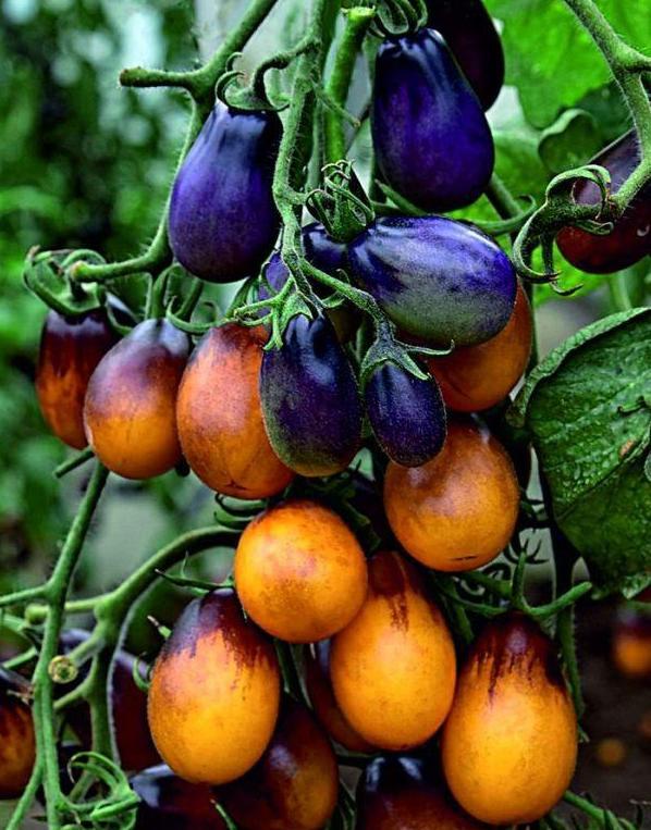 фотографий определяется томат слива черная отзывы фото собрал